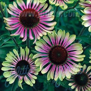 Echinacea Green Twister   - Echinacea purpurea -  lg pot